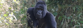 Mountain Gorilla in bwindi Forest, Uganda